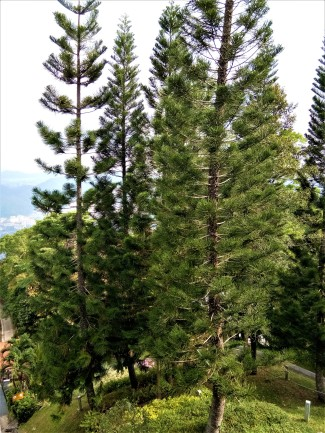 Penang Hill's tree line. (photo credit : Shah Said ; @ all rights reserved)