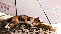 Furball, she of the bushy tail and daughter of Comot, having snooze under the cat's version of a cabana. (photo credit : Shah Said ; @ all rights reserved)